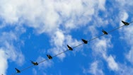 Stock Video Footage of Birds on a electrical wire over blue sky.
