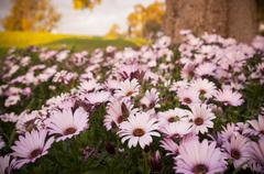 Stock Photo of daisies
