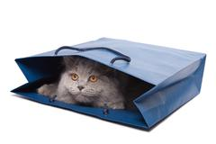 Cute british kitten in blue bag isolated Stock Photos