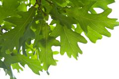 green oak leaves isolated - stock photo