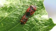 Cabbage bug couple Eurydema ventralis Stock Footage