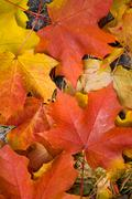 Colorful maple leaves background Stock Photos