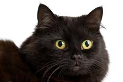 portrait of cute black cat isolated - stock photo