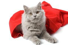 british cat in red sack isolated - stock photo