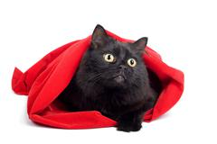 black cat in red bag isolated - stock photo