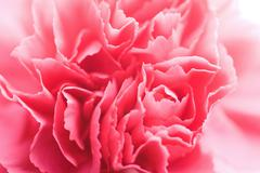 macro of carnation flower - stock photo