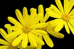 yellow cape daisies isolated on black background - stock photo