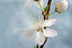 cherry blossom on grunge background - stock photo