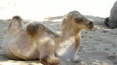 HD - Camel. colt Stock Footage