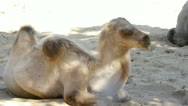 Stock Video Footage of HD - Camel. colt