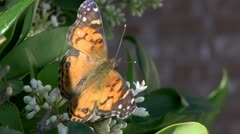 Butterfly.Feeding.2.PJ.1080 Stock Footage