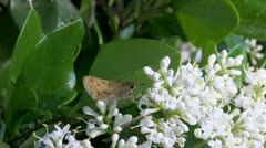 Butterfly.Feeding.3.PJ.1080 Stock Footage