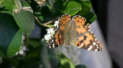 Butterfly.Feeding.4.PJ.1080 Stock Footage