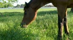 Horse.Feeding.PJ.1080 Stock Footage