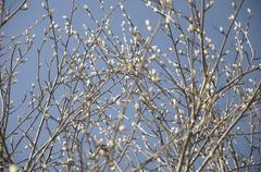 Stock Photo of the spring buds on the aldertree