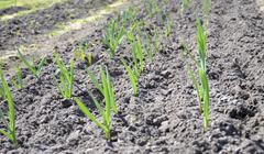 Stock Photo of upper view of the planting garlic