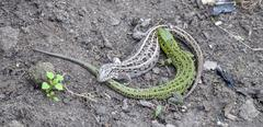 Two lizards are fighting on the ground Stock Photos