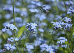 Close up view of small blue spring flowers Stock Photos