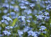 Stock Photo of close up view of small blue spring flowers