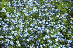 group of small blue spring flowers - stock photo