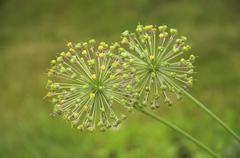 spherical spring flower - stock photo