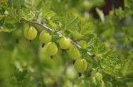 Stock Photo of gooseberry branch with a lot of green gooseberries and leaves