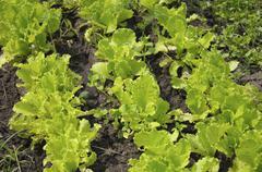 lettuce planting - stock photo