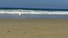 Great White Egret Walking Southern California Beach Stock Footage