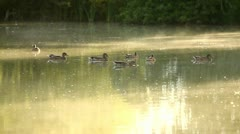 Flock of ducks in the pond in the misty morning, closeup, mallards Stock Footage