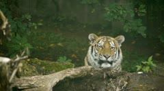 HD - Tiger in the jungle Stock Footage
