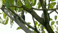 Red Crested Woodpeckers male  and female on tree branch. Stock Footage