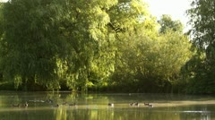 Park pond with ducks in the sunny morning, landscape Stock Footage