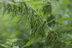 A stinging nettle -urtica dioica,  loaded with seeds Stock Photos