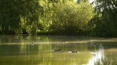 Mallards swimming in the park pond, wild ducks Stock Footage