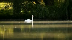 White mute swan swimming in the pond in a distance Stock Footage