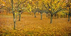 orchard in autumn - stock photo