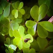 clover and ladybug - stock photo