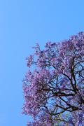 jacaranda tree - stock photo
