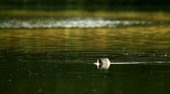 Coot swimming in the pond Stock Footage