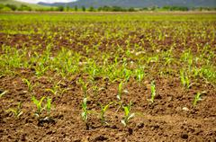 sprouting corn crop - stock photo