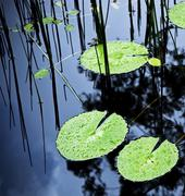 lilly pad pond - stock photo