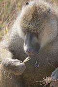 AFRICAN BABOON Eating Stock Photos
