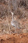AFRICAN BROWN BIRD Kenya, Africa - stock photo
