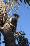 COLOBUS MONKEY in a tree Kenya, Africa - stock photo