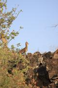 African Deer On Cliff Kenya, Africa - stock photo
