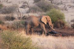 AFRICAN ELEPHANT AT WATERING HOLE Kenya, Africa - stock photo