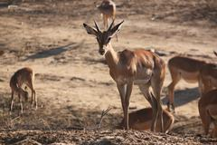 AFRICAN GAZELLES  Kenya, Africa - stock photo