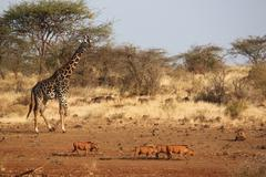 AFRICAN GIRAFFE AND WARTHOGS Kenya, Africa Stock Photos