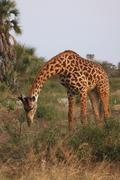 AFRICAN GIRAFFE FEEDING Kenya, Africa Stock Photos