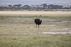 AFRICAN OSTRICH - stock photo